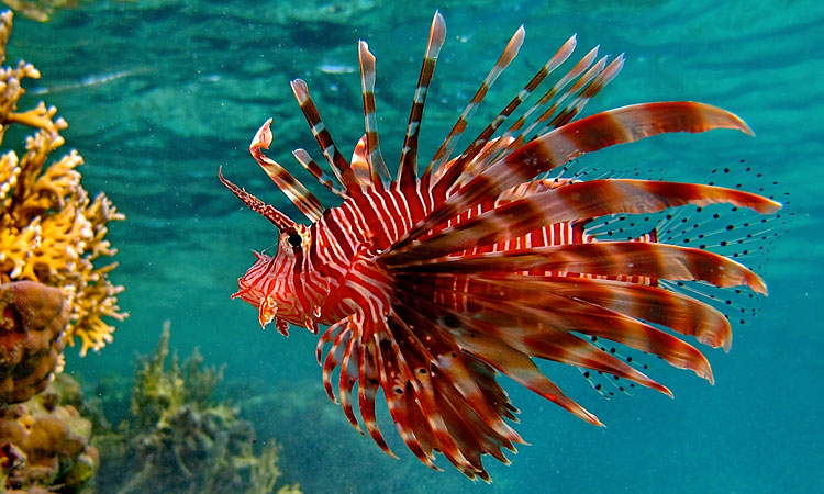 The Lionfish Challenge by  in